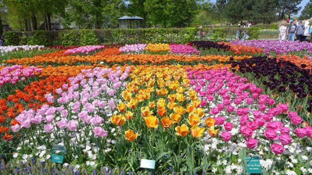 Jardim de tulipas na Holanda_Keukenhof_A Ciagem Certa_dicas da holanda - 11 (1)