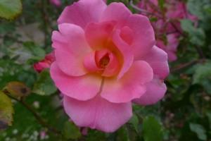 Rosas Jardin des Plantes 9