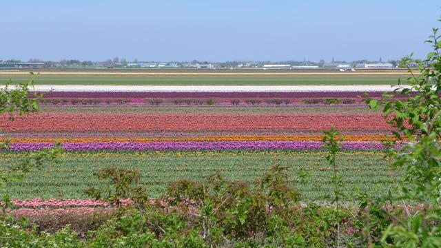 Jardim de tulipas na Holanda_Keukenhof_A Ciagem Certa_dicas da holanda - 10 (1)