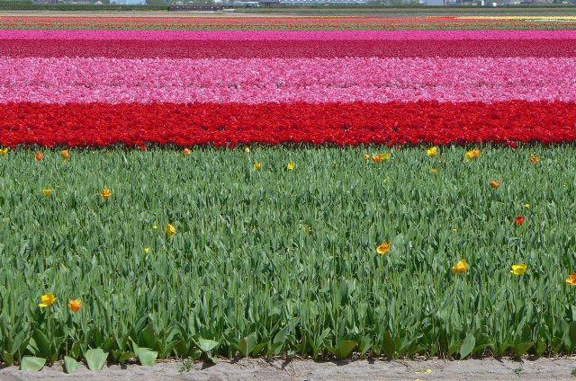 Jardim de tulipas na Holanda_Keukenhof_A Ciagem Certa_dicas da holanda - 8 (1)