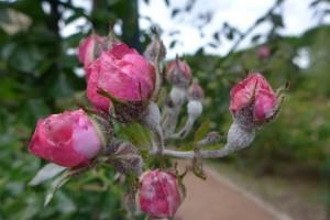 Rosas Jardins des Plantes 2