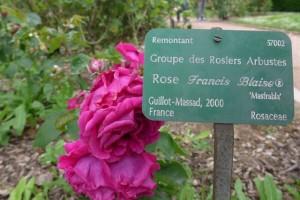 Rosas Jardins des Plantes 11