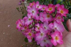 Rosas Jardin des Plantes 13