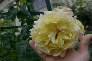 Jardim das Rosas_Jardim des Plantes 18