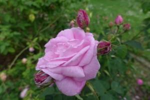 Rosas Jardin des Plantes 4