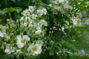 Rosas Jardins des Plantes 14