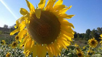 Nelson Aggregate Sunflower.JPG