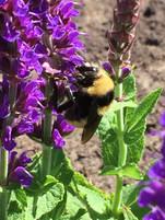 Honeybee.jpeg