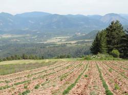 Un champs de lavandes.