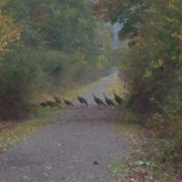 turkeys on trail.jpg