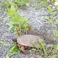 turtle on trail.jpg