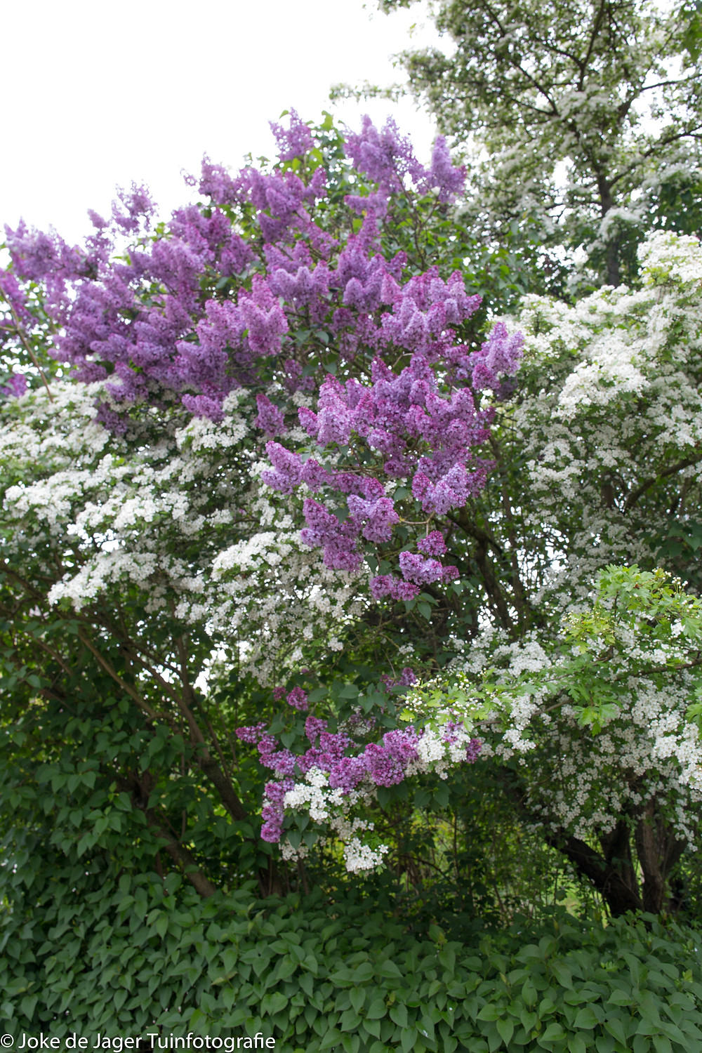 beautiful flowering hawthorn with lilac
