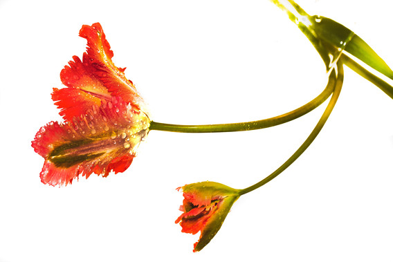 tulipa nieuwste-9.jpg