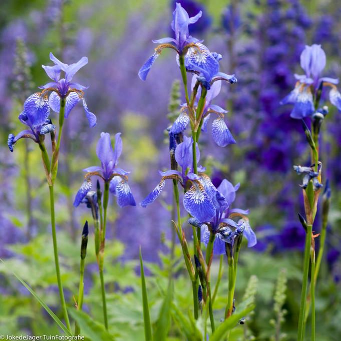 Mijn 100 beste, meest gebruikte blauw-bloeiende planten voor de tuin