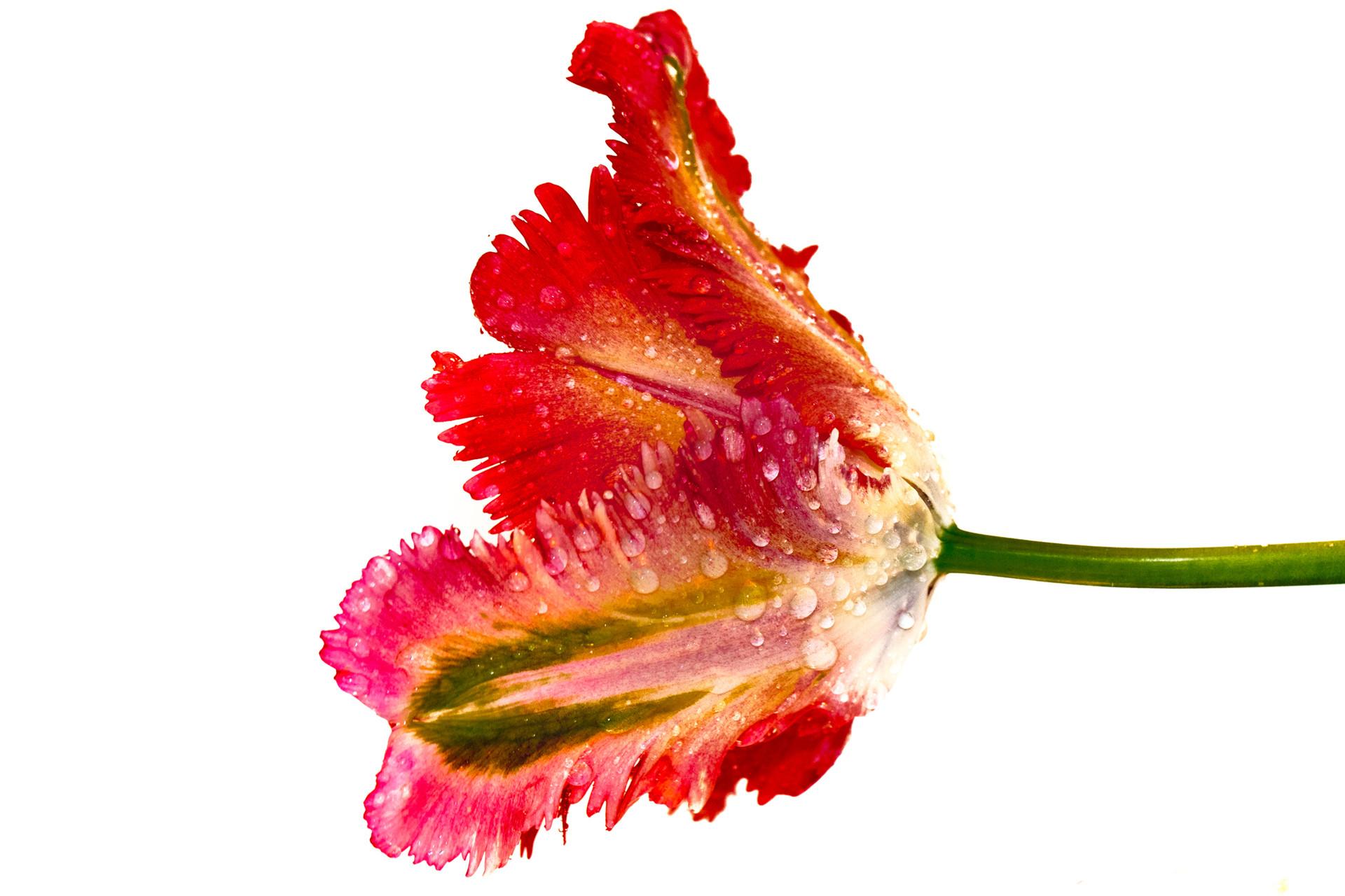 tulipa nieuwste-8.jpg