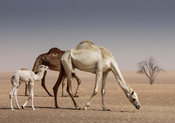 camels-1.jpg