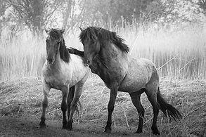 wilde paarden (1 van 1).jpg