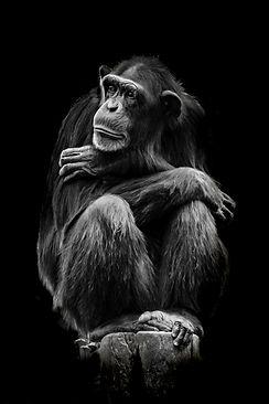 portrait of 1 chimp-2.jpg