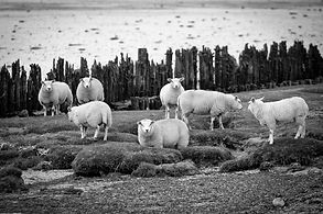 schapen moddergat (1 van 1).jpg