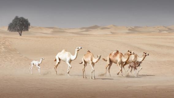 camels-4.jpg
