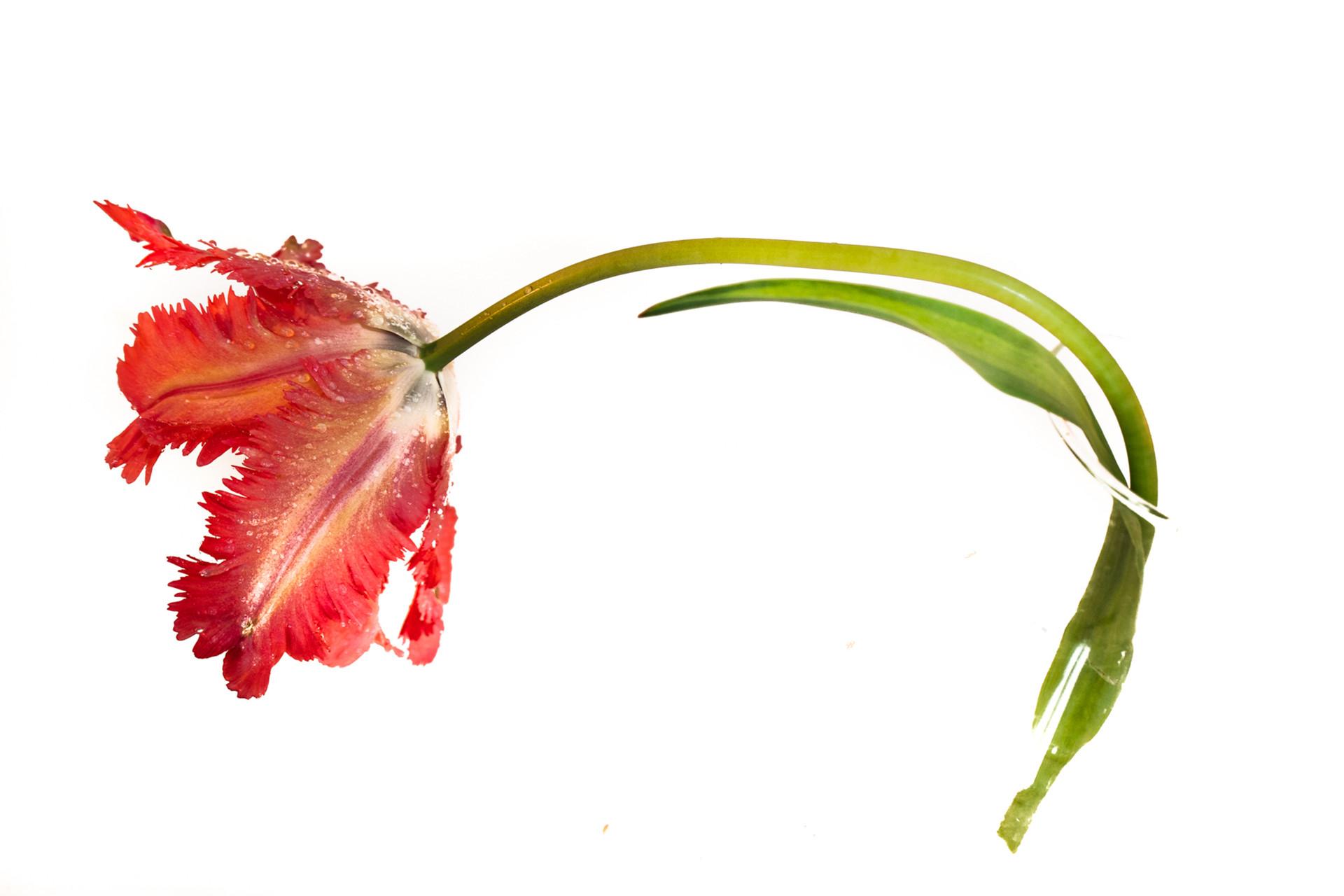 tulipa nieuwste-10.jpg