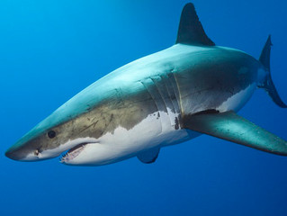 I Think We Need a Bigger Boat - The Great Whites in Our Waters