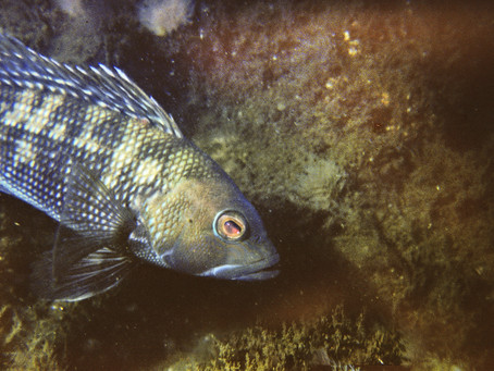 Getting to Know Black Seabass