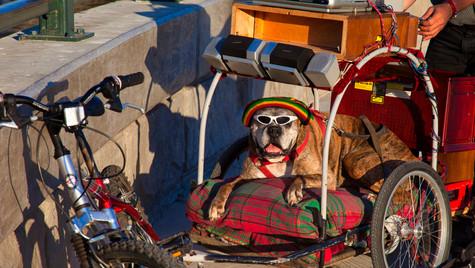 Jamaican Bulldog