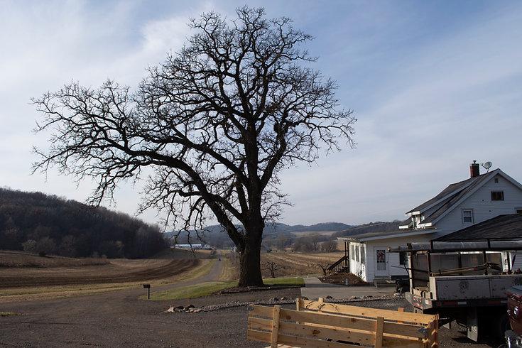 Iconic Oak at the farm