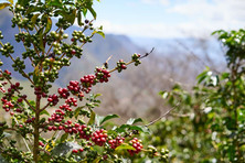 Coffee tree with cherries ready to be picked!