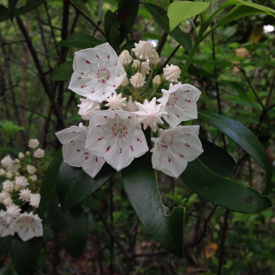 Lilyoutlook mountain laurel - erwin