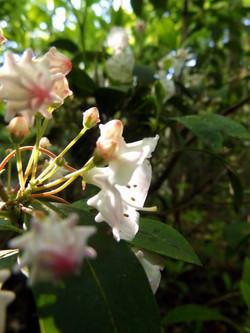 white oak ml jennie