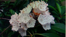 South Old Mac Trail Mountain Laurel.jpg
