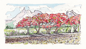 Flame trees in Pamplemousses - 2018