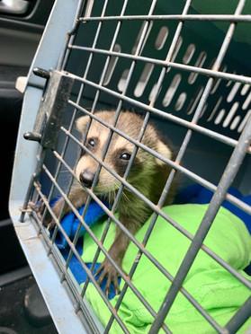 raccoon from stockbridge ga to cassie ve