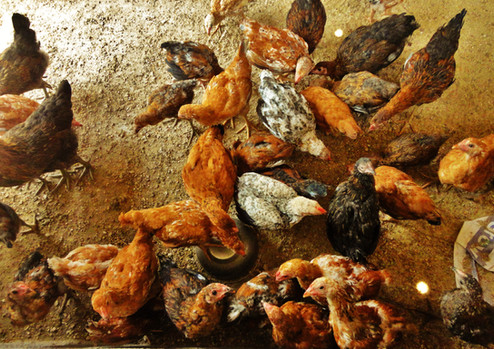 South India: Chicken Raising Business