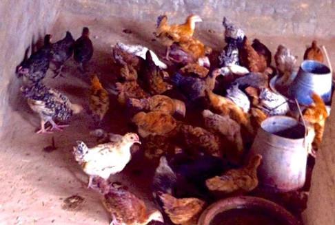 Central Asia: Chicken Raising Business