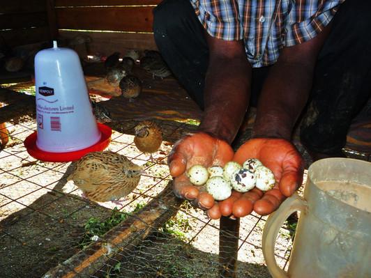 Kenya: Quail Raising Business