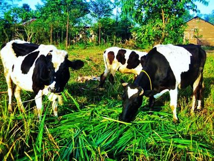 Kenya: Dairy Business