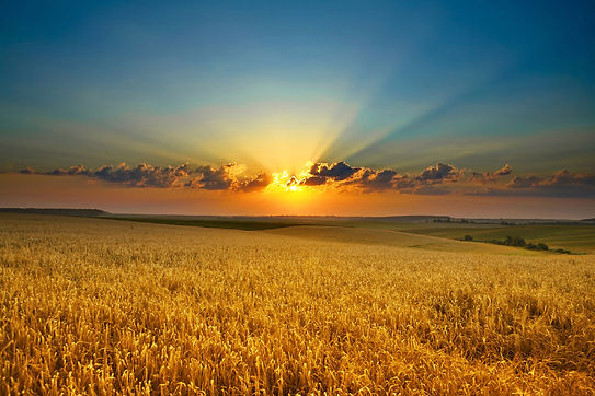 10004-hd-wheat-fields-under-the-sun.jpg