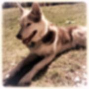 Koda, Husky Dog