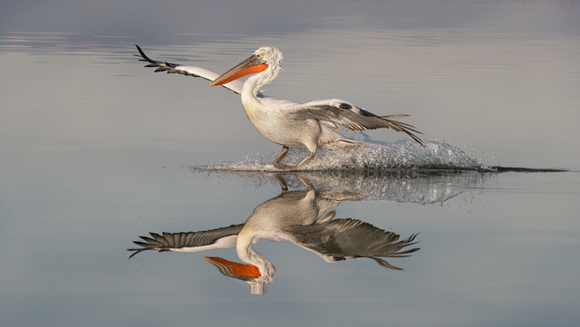 'Pelican Soft Landing' by Jennifer Willis - Commended