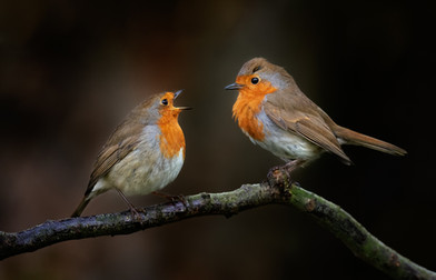 'Robbin Squabble' by Jennifer Willis - Highly Commended