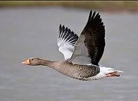 Grayleg Goose