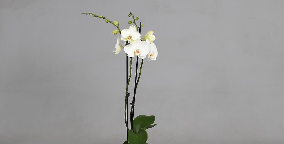 Phalaenopsis - orchidee (wit)