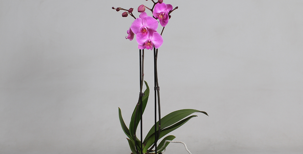 Phalaenopsis - orchidee (roze)
