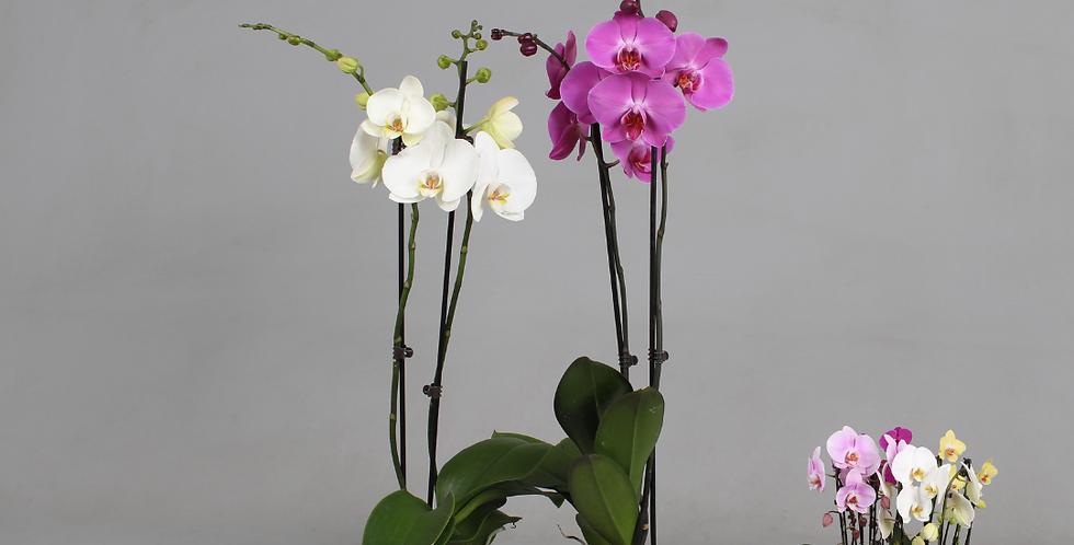 Phalaenopsis - orchidee (verrassingskleur)