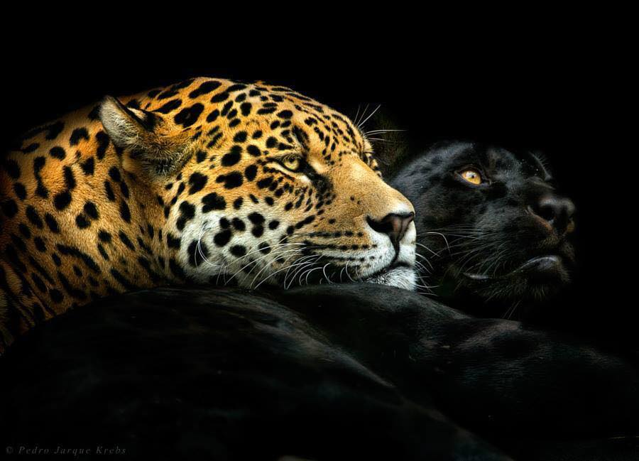 Cheetah and Panther