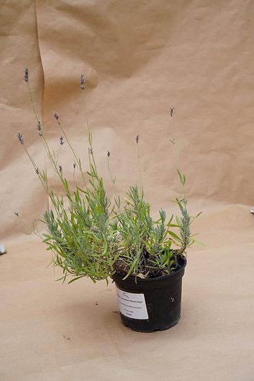 Lavender - Angustifolia Hidcote