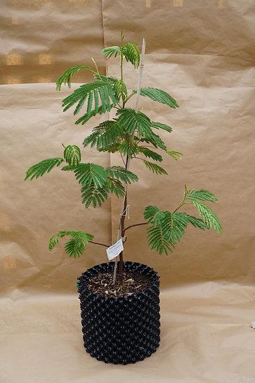 Paraserianthes Lophantha